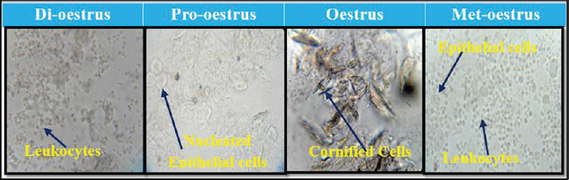 Figure 1: Phases of normal oestrus cycles. The estrous cycle lasts 4–5 days and is characterized as: Proestrus: Predominance of nucleated epithelial cells, Oestrus: Primarily consist of enucleated cornified cells, Metestrus: Consist of same proportion of leukocytes, cornified and epithelial cells, Diestrus: Predominance of leukocytes